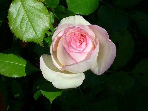 http://sd-5.archive-host.com/membres/images/164353825412355948/fleurs_11.jpg