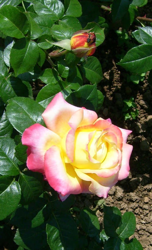 http://sd-5.archive-host.com/membres/images/164353825412355948/roses_16.jpg