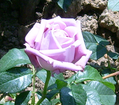 http://sd-5.archive-host.com/membres/images/164353825412355948/roses_22.jpg