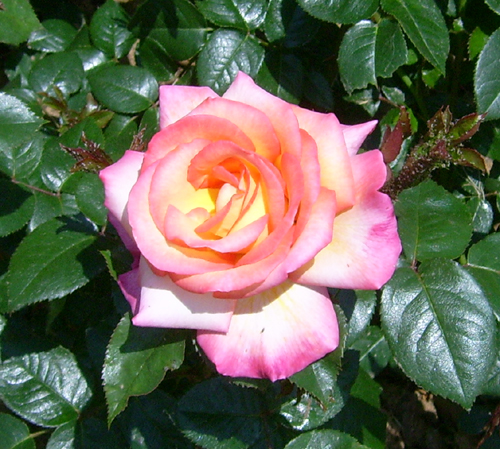 http://sd-5.archive-host.com/membres/images/164353825412355948/roses_23.jpg