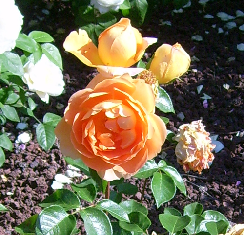 http://sd-5.archive-host.com/membres/images/164353825412355948/roses_4.jpg