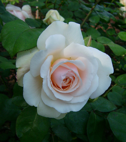 http://sd-5.archive-host.com/membres/images/164353825412355948/roses_8.jpg